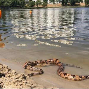 В Киеве на озере Тельбин купались и загорали два огромных удава