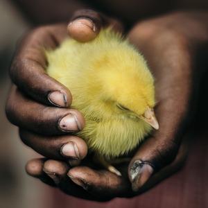 В США научились выращивать мясо из перьев: животных не убивают