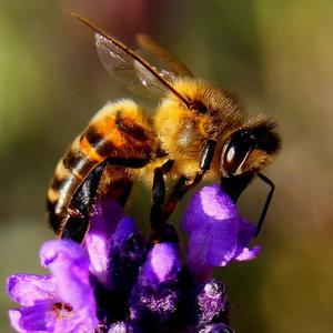 Супрун объяснила, может ли быть опасно лечение пчелиным ядом