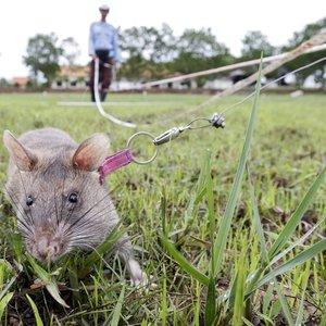 """Ученым удалось с помощью лазера """"выключить"""" алкоголизм у крыс"""
