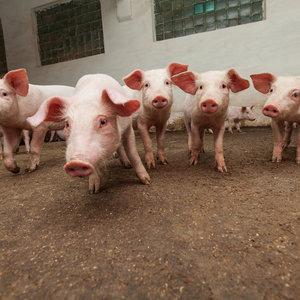 В Украине с начала года уничтожено 170 000 свиней